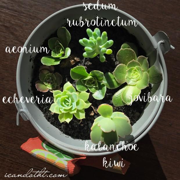 succulent-types
